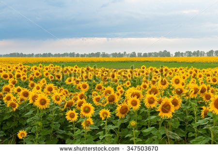 stock-photo-blooming-sunflowers-field-and-cloudy-sky-347503670.jpg
